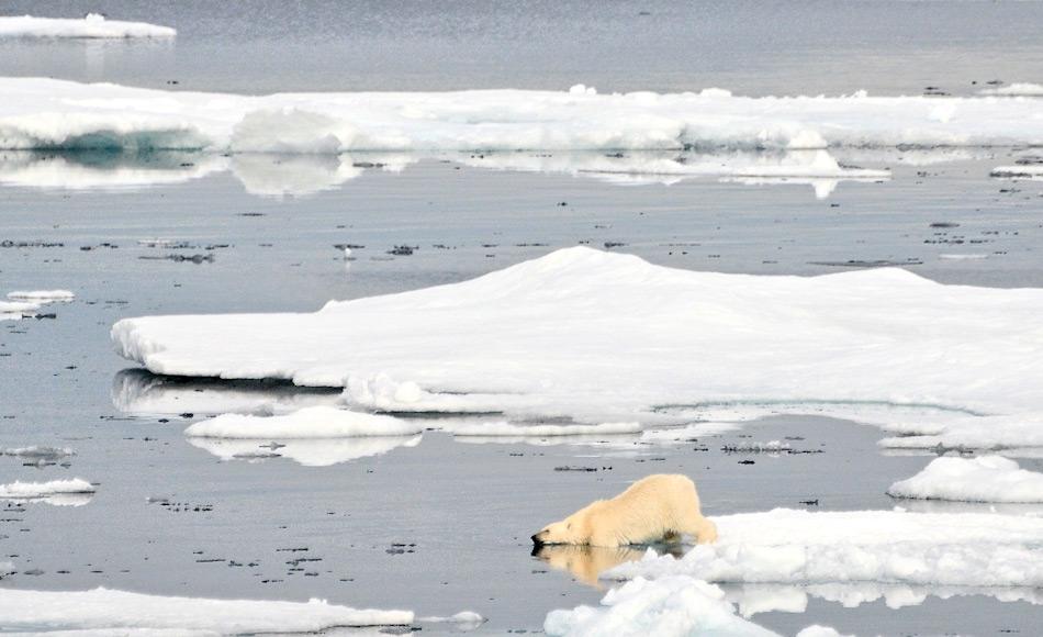 Die Eisbären in Ostgrönland gelten als eigene Subpopulation, die sich aufgrund mangelnder Verbindungen nach Westen oder Osten selbst erhält. Da auch nur wenige Siedlungen an der Ostküste liegen, war bisher ein Aufeinandertreffen von Mensch und Bär immer auch eine Erfahrungssache des Jägers. Bild: Michael Wenger